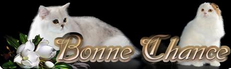 Bonne Chance - питомник шотландских кошек